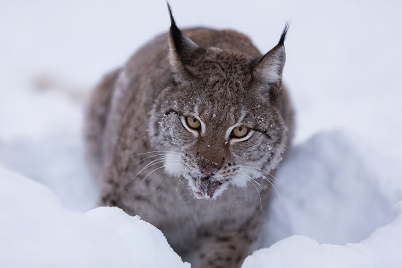 But it can make you very tired, that's why this Swedish Lynx stopped to rest.